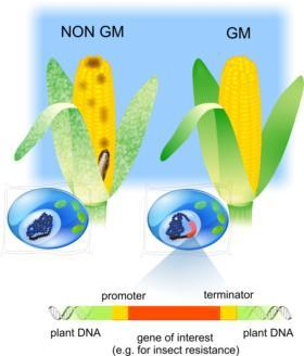 Comparison of GM insect resistant and non-GM maize