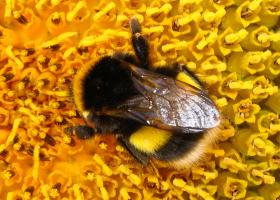 White-tailed bumblebee Bombus lucorum (foto: D. Bevk)