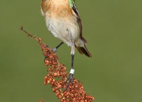 Whinchat (Saxicola rubetra). (Photo: Davorin Tome)