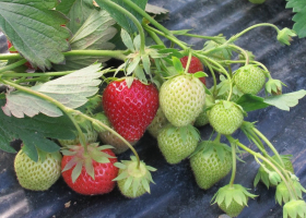 Healthy strawberries (BICOPOLL project). (photo: D. Bevk)