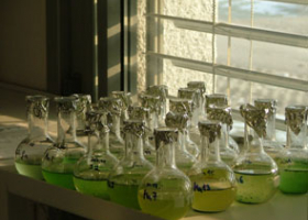 Growing of cyanobacteria in laboratory. (photo: Dr.Tina Eleršek)