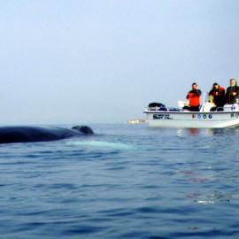 Opazovanje kita grbavca (Megaptera novaeangliae) v Piranskem zalivu. (2)