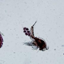Raznolikost vrst harpaktikoidnih rakov