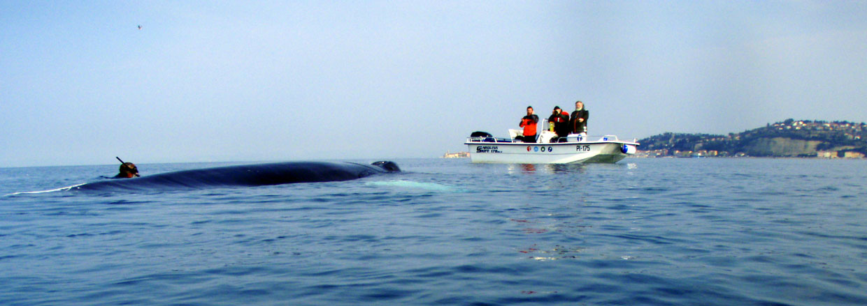 Observation of the Humpack whale (Megaptera novaeangliae) in the Piran bay. (2)