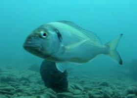Trenutno stanje podvodnega sveta na zavarovanem območju Naravnega spomenika Rt Madona.