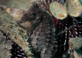 Morski konjiček / Hippocampus (foto: T. Makovec)