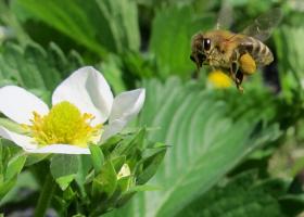 Čebela je na cvet jagode prinesla biološko zaščitno sredstvo (projekt BICOPOLL) (foto: D. Bevk)