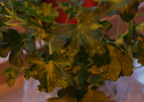 Pelargonija okužena s TSWV. (Foto: Nataša Mehle)