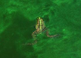 Žaba v cianobakterijskem cvetu. (foto: Dr. Tina Eleršek)