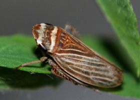 Leafhopper of the genus Aphrodes (photo: A. Kuhelj)