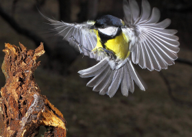 Great tit (Parus major). (Photo: Davorin Tome)