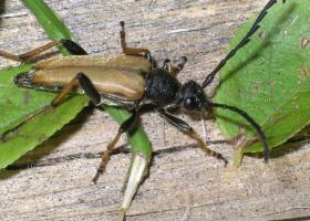Red longhorn beetle (Stictoleptura rubra) (photo: A. Žunič-Kosi)