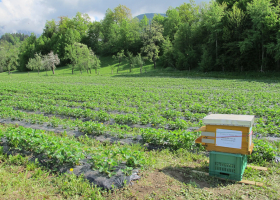 Honeybee colony in a strawberry field. (photo: D. Bevk)