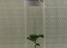 Genetically modified potato in a tissue culture. (Photo: FITO)