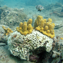 Bledenje in umiranje kamene korale (Cladocora caespitosa).