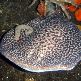 Marbled electric ray (Torpedo marmorata).