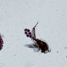 Variety of copepod species. Note the egg sac on female copepod in the middle
