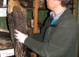 Obisk Zemaljskega muzeja v Sarajevem v sklopu projekta Bilaterale Slovenija - Bosna in Hercegovina; pregled preparata ptiča brkatega sera (Gypaetus barbatus). (Foto: Dejan Bordjan)