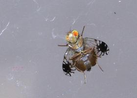 Sadna muha vrste Trupanea vicina (A. Žunič Kosi)