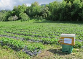 Čebelja družina v nasadu jagod. (foto: D. Bevk)