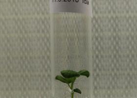 Gensko spremenjen krompir v tkivni kulturi. (Foto: FITO)