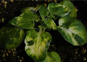 Žilne nekroze na listu Solanum venturii po okužbi s PVYn-GFP. (Foto: David Dobnik)