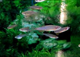 Ribe cebrice (Danio rerio).(foto: dr. Miloš Vittori)