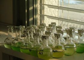 Gojenje cianobakterij v laboratoriju. (foto: Dr. Tina Eleršek)